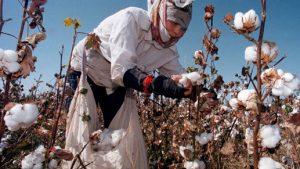 cây bông sản xuất ra vải thun cotton